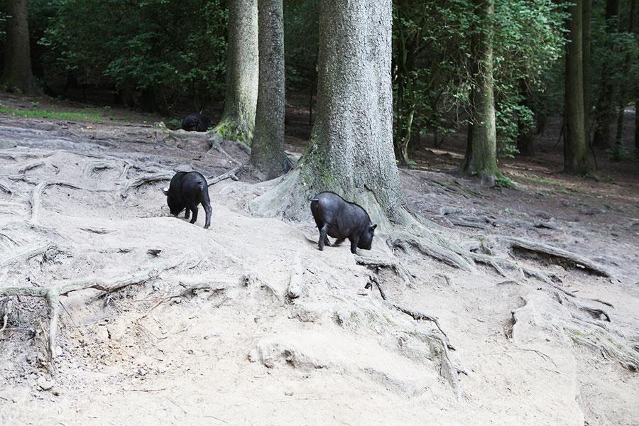Zwei kleine Hängebauchschweine - Videoreportage